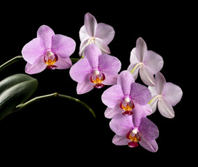 From the Orchid flower on a black background