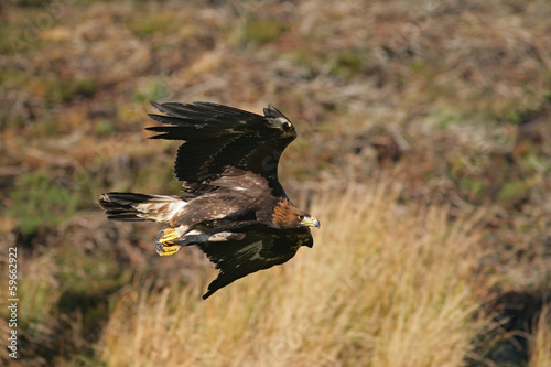 Foto op Plexiglas Eagle Golden eagle, Aquila chrysaetos