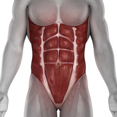 Male abdomen muscles anatomy isolated