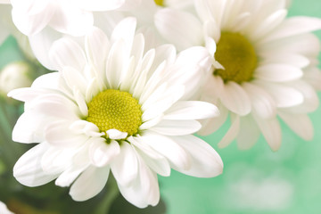 chamomile's flowers in pale green pastel tones