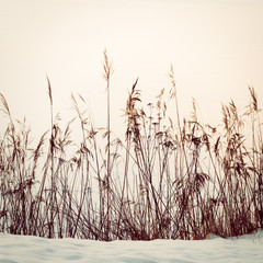 Reed in Snow
