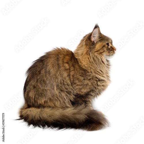 Cat breed Maine Coon. Portrait in profile