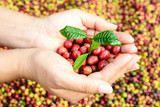 Fototapety young coffee tree and coffee beans in hands