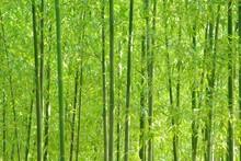 Bambou vert forêt