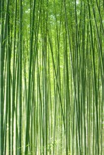 Sagano Bamboo の