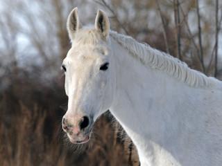 Pura Raza Espanola horse portrait