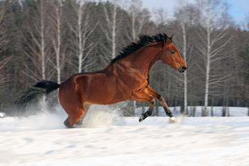 Speed gallop in snowfield, Russia