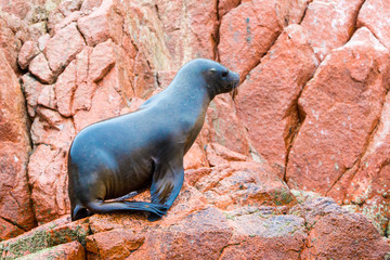 South American Sea lion relaxing on rocks of Ballestas