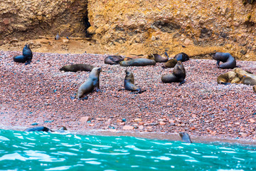 South American Sea lions relaxing on rocks of Ballestas