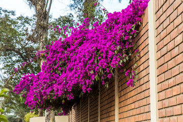 Flowers bougainvillea in Lima, Peru,South America.