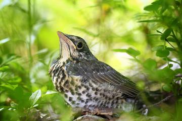 chick little bird, blackbird