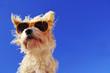 canvas print picture - Hund mit sonnenbrille