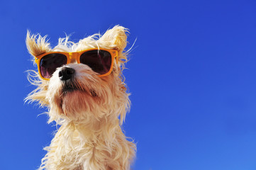 Hund mit sonnenbrille