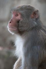 Macaque male portrait  in Nepal temple having fun
