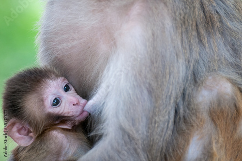 Tiny macaque breastfeeding  in Nepal temple having fun