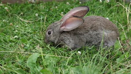 Small rabbit nibbling grass and clover