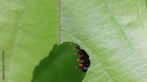 battus philenor caterpillar