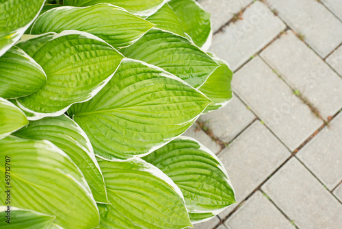 Leaves hosta on the background of paving slabs