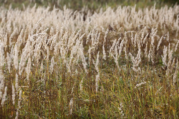sedge grass autumn back background
