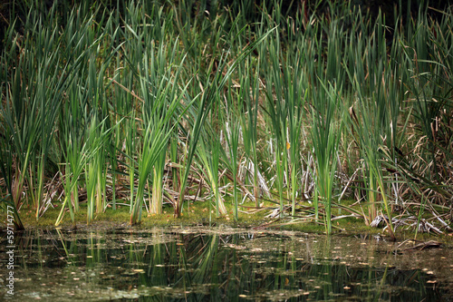 bulrush marsh