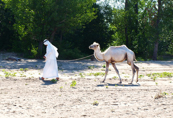 Arab in traditional dress leads the white camel on a rope