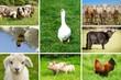 Landwirtschaftliche Nutztiere, Bildmosaik