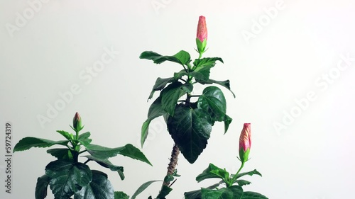 Timelapse China Rose