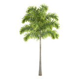 Palm plant tree isolated. Wodyetia