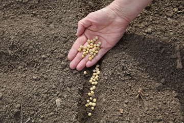 Agriculture, soy bean sowing, ground hand and seed