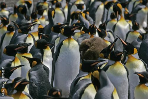 Tuinposter Pinguin King penguin, Aptenodytes patagonicus