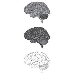 Human Brain Gray