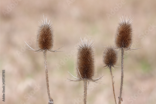 Teasel Troop