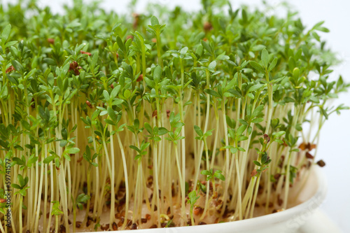Cress seedlings isolated on white background