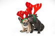 French bulldogs with reindeer horns