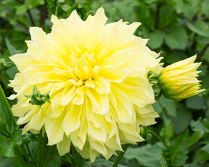 Dahlia Flower Yellow
