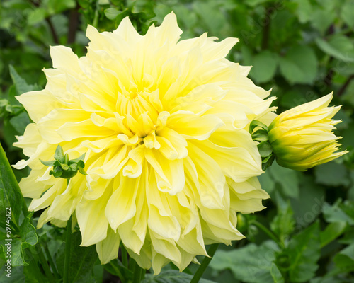 Foto op Canvas Dahlia Dahlia Flower Yellow