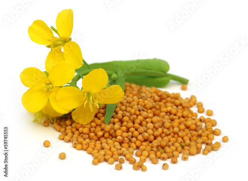 Mustard flower with seeds
