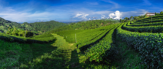 Panoramic shot of green tea plantation field