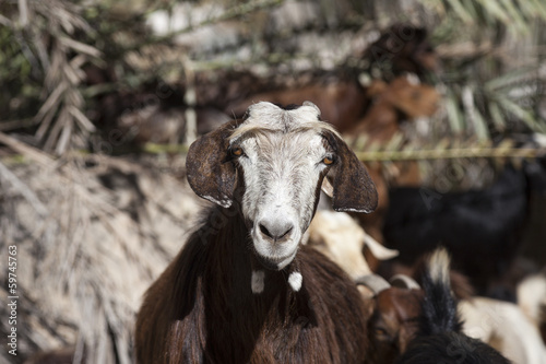 Domestic goat in Oman