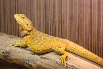 Bearded Dragon lying on a dry wooden branch in a terrarium