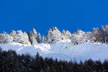 Pineta innevata - Valle d'Aosta - Val Veny