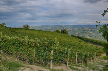 Vineyard in the Langhe - Italy 2