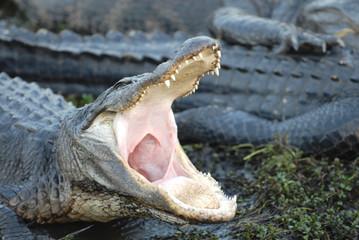 Open Up, Gator