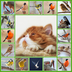 Collage with Persian kitten and birds