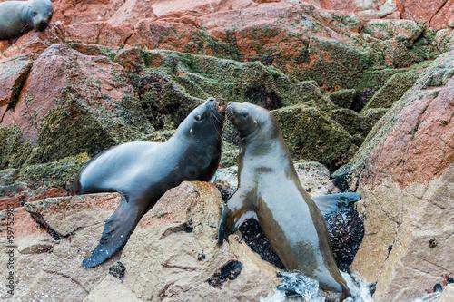 South American Sea lions relaxing on rocks of Ballestas
