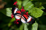Heliconius butterfly Piano key