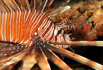 Close-up of a Common Lionfish, Maldives