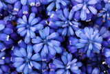 Muscari - hyacinth close-up