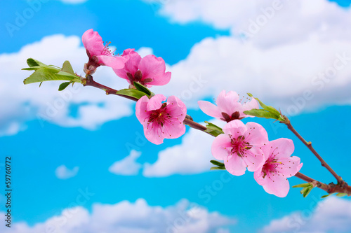 beautiful pink peach blossom on blue sky background