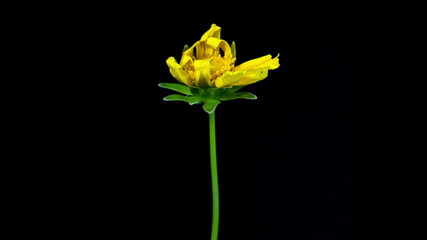 Timelapse of yellow coreopsis flower blooming
